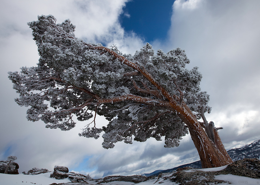 A tree covered in rime ice stands atop Donner Peak, near Donner Pass, Truckee, California.