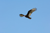 Turkey Vulture's (Cathartes aura) long wings allow it to soar gracefully over large areas looking for carrion.  Lake Erie Region, North America.
