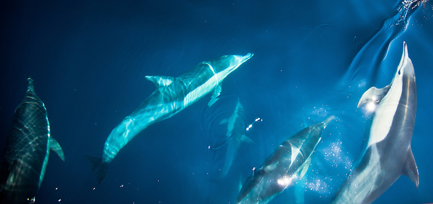 A group of dolphins swimming in the Pacific ocean off Kochi, Japan.