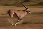 Biesa oryx running, Kenya, Africa