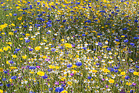 Cornfield annual flower mixture including corn cockle,corn chamomile,corn marigold,cornflower,scentless mayweed, Cambridgeshire.