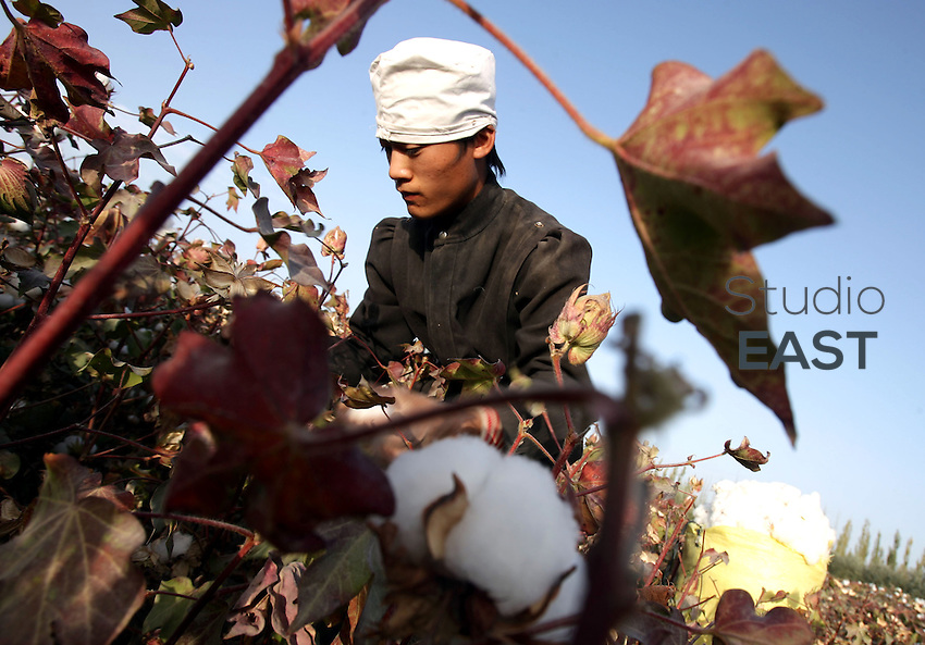 A worker harvests cotton in a cotton field near Korla, Xinjiang province, China, on October 10, 2006. Photo by Lucas Schifres/Pictobank