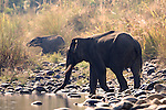 Male Asian Elephant, Elephas maximus, Crossing river, silhouette, Corbett National Park, Uttarakhand, Northern India, .India....