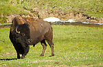 A bull bison in Yellowstone National Park, May 31, 2011. Photo by Gus Curtis.