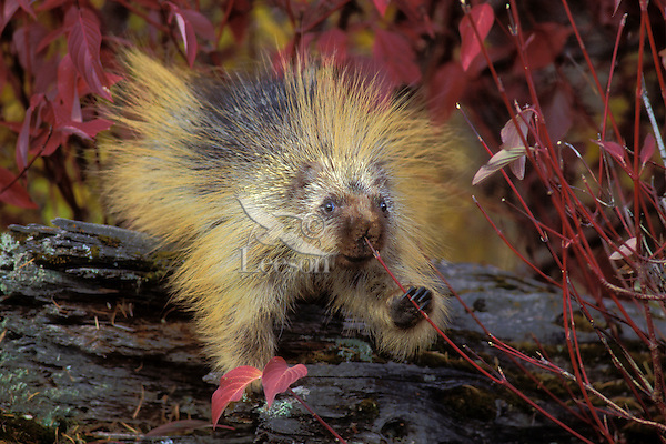 PORCUPINE eating rosehips..Autumn. Rocky Mountains..(Erethizon dorsatum).