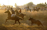 The bull chases riders as they take part in the 'El toro de la Vega' (The bull of the plain) bullfight, September 16, 2008 in Tordesillas, near Valladolid, © Pedro ARMESTRE.