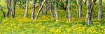 Birch copse, Iceland