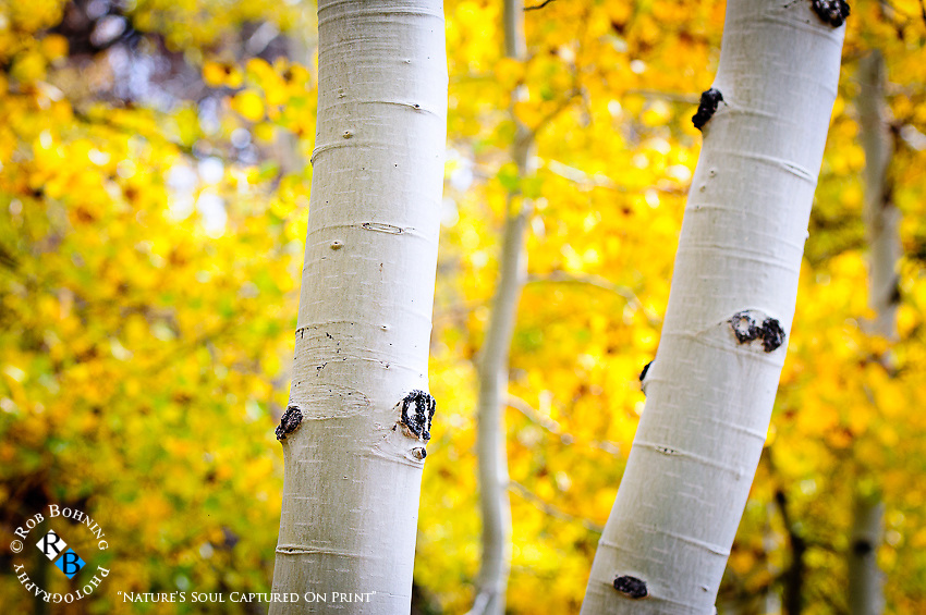 Brilliant quaking aspen in the Eastern Sierra in autumn