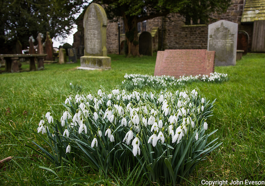 Snowdrops in a St Bartholomew's churchyard, Chipping, Lancashire.