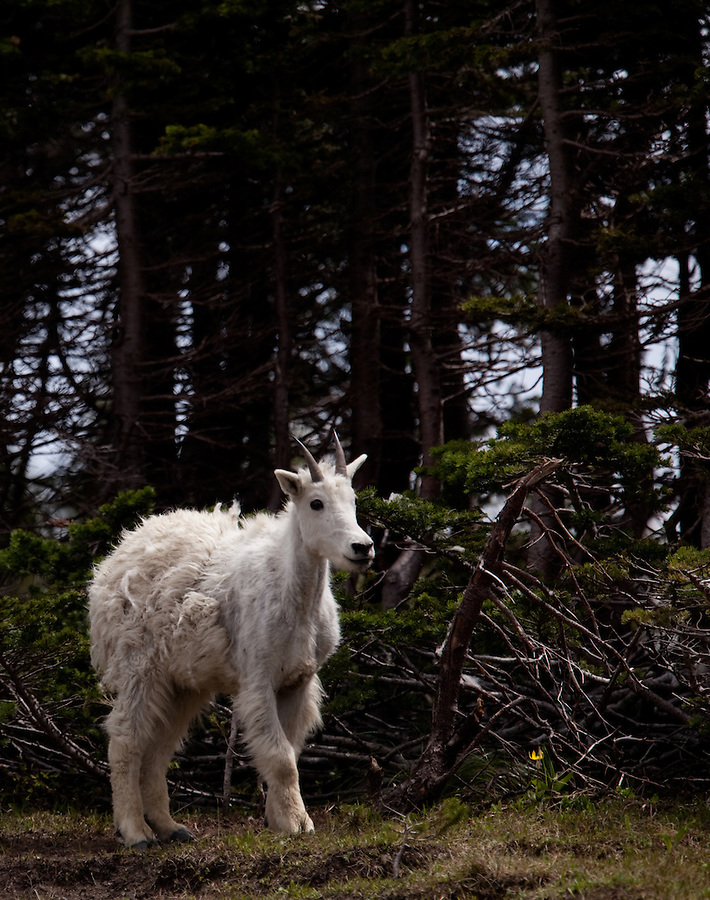 A mountain goat kid stands at the treeline of a forest in Glacier National Park, Montana.