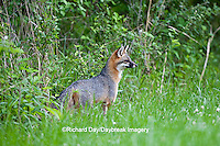 01867-00102 Gray Fox (Urocyon cinereoargenteus) female in field, Holmes Co, MS