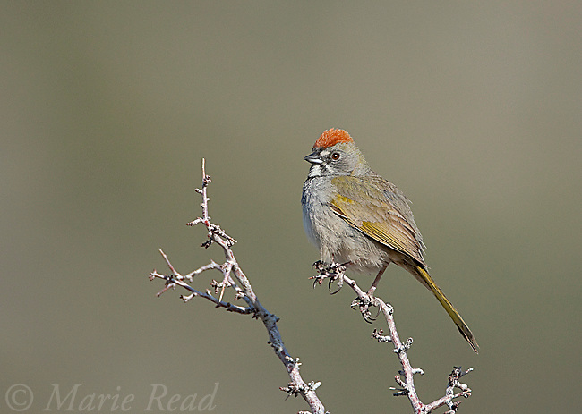 Green-tailed Towhee (Pipilo chlorurus), Mono Lake Basin, California, USA