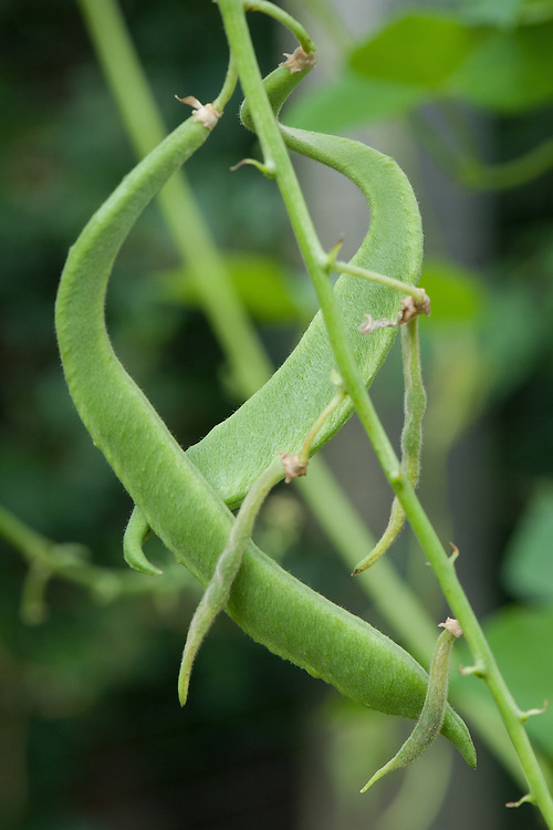 Distorted, misshapen growth in runner beans, early August.