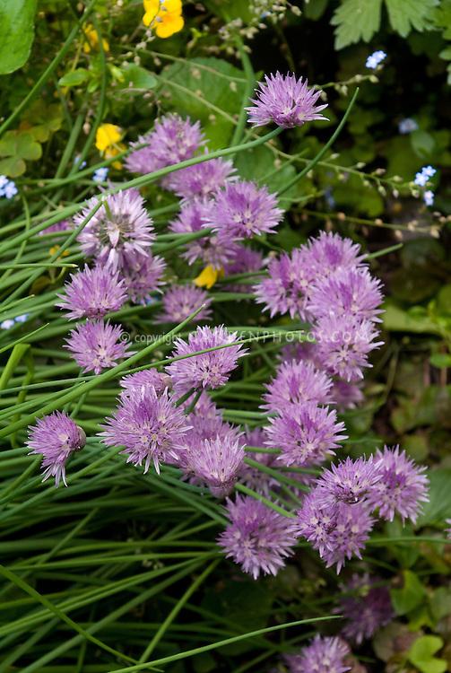 Chives herbs in flower, Allium