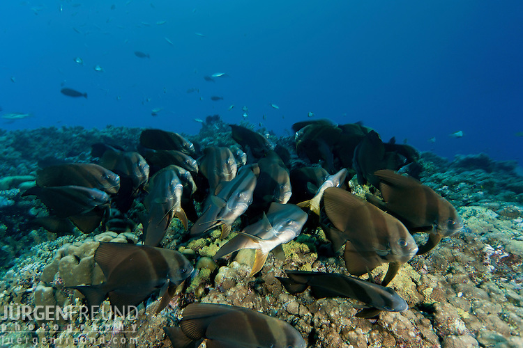 Schooling Teira batfish (Platax teira) seeming to huddle together for the night