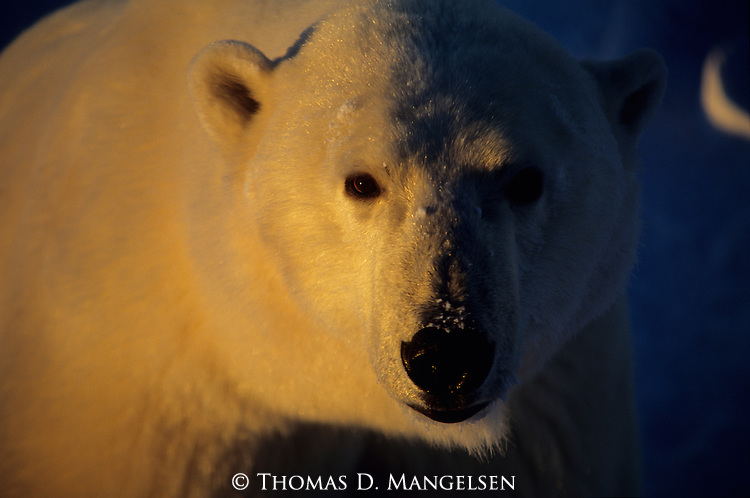 A close-up of portrait of a polar bear in Canada.
