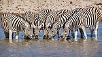 Zebra Drink At A Waterhole.