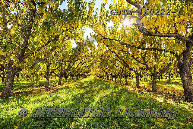 Tom Mackie, LANDSCAPES, LANDSCHAFTEN, PAISAJES, photos,+Cromwell, New Zealand, Tom Mackie, Worldwide, apricot, autumn, autumnal, back-lit, backlight, backlit, beautiful, bright, col+or, colorful, colour, colourful, fall, fruit, gold, golden, holiday destination, horizontally, horizontals, orchard, pattern,+patterns, peaceful, restoftheworldgallery, scenery, scenic, season, sunburst, tourist attraction, tranquil, tranquility, tre+e, trees, vacation, yellow,Cromwell, New Zealand, Tom Mackie, Worldwide, apricot, autumn, autumnal, back-lit, backlight, back+,GBTM160222-1,#l#