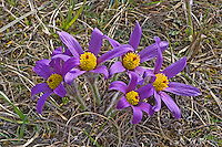 Gewöhnliche Küchenschelle, Gewöhnliche Kuhschelle, Pulsatilla vulgaris, pasque flower, pasqueflower, common pasque flower, Dane's blood