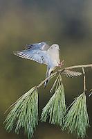 Mourning Dove (Zenaida macroura), adult landing, Raleigh, Wake County, North Carolina, USA