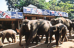 Elephant Orphanage Pinnawela (Elefantenwaisenhaus) close to Kandy, Sri Lanka, Asia