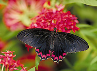 PARIDES MONTEZUMA Butterfly, nectoring on pink Pentas, at Audubon Zoo. Range - Neotropical. Subfamily - Papilioninae; Family - Papilionidae; Order - Lepidoptera; Class - Insecta; Phyllum - Arthropoda; Kingdom - Animalia. NEW ORLEANS LOUISIANA USA AUDUBON