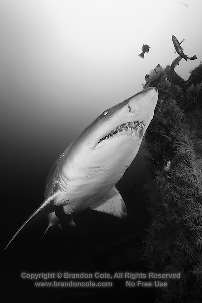 TP0735-Dbw2. Sand Tiger Shark (Carcharias taurus) swimming near shipwreck. Fearsome appearance but not aggressive, posing no threat to divers unless provoked; can hover in midwater by using stomach as a buoyancy compensator after they have gulped air at surface; feeds on bony fishes, sharks and rays, crustaceans, and squid; some migrate to warmer waters in fall and winter and cooler climates in spring and summer. North Carolina, USA, Atlantic Ocean. Color photo converted to black and white.<br /> Photo Copyright &copy; Brandon Cole. All rights reserved worldwide.  www.brandoncole.com