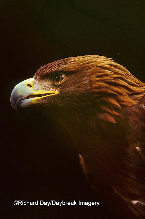 00788-00108 Golden eagle (Aquila chrysaetos) (captive animal)   OR
