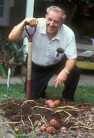 Potatoes red skinned, being dug in garden by older man