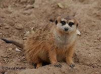 0214-08vv  Meerkat, Suricata suricatta © David Kuhn/Dwight Kuhn Photography