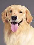 Portrait of a one year old golden retriever isolated on gray background