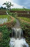 INDONESIA Java, women replant rice samplings in irrigated paddy field / INDONESIEN Java, Frauen setzen Reissetzlinge in einem bewaesserten Reisfeld um