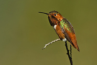 Allen's Hummingbird - Selasphorus sasin - Adult male