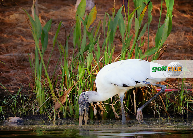 151119  Wood Stork on a fishing trip during Thursday's First Round of The CME LPGA Tour Championship at The Tiburon Golf Club, in Naples, Fl.(photo credit : kenneth e. dennis/kendennisphoto.com)