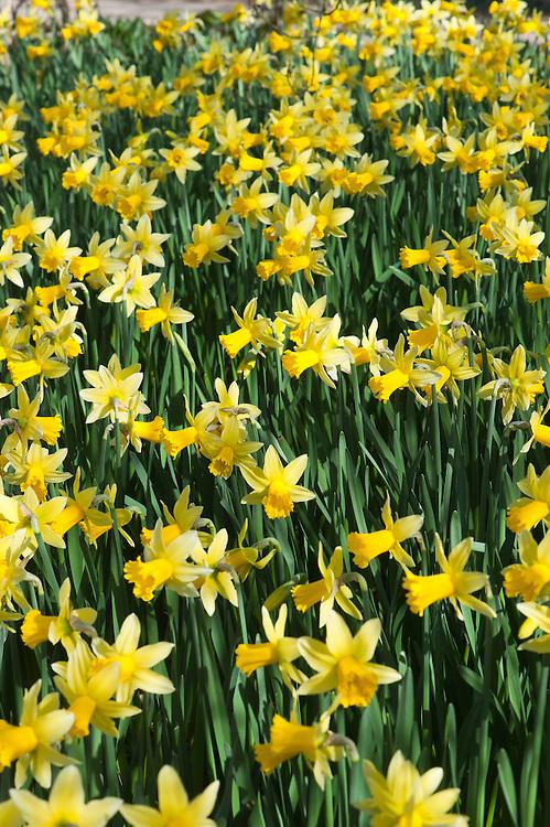 Daffodil (Narcissus 'Wisley'), mid March.