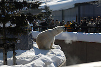 Polar bears at Asahiyama Zoo in freezing Hokkaido prefecture in northern Japan. The  visitor numbers have increased ten fold to 3 million in the past few years since the introdution of the penguin parade and other interactive facilities. Only Ueno Zoo in Central Tokyo has  more visitors.
