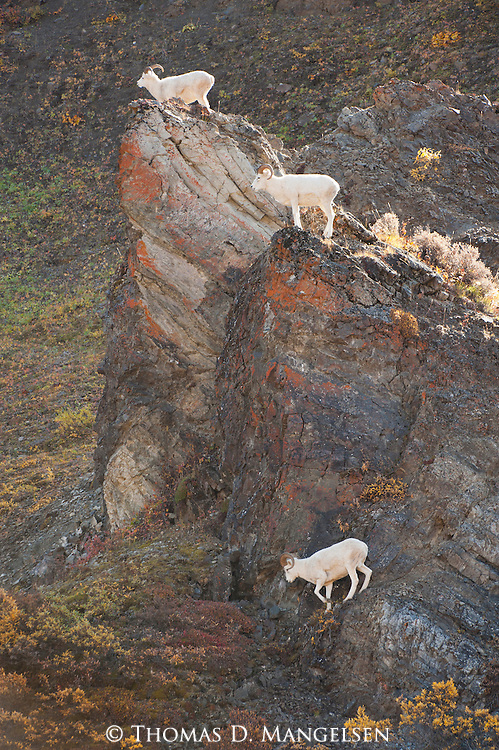 Three Dall sheep on cliffs in Denali National Park, Alaska.