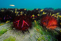 Astropyga radiata, Roter Diademseeigel, Gruppe von Roten Diademseeigeln mit Kardinalfischen, Conregation of Long-spined Sea Urchins with cardinalfish, Secret Bay, Gilimanuk, Bali, Indonesien, Indopazifik, Indonesia, Asien, Indo-Pacific Ocean, Asia