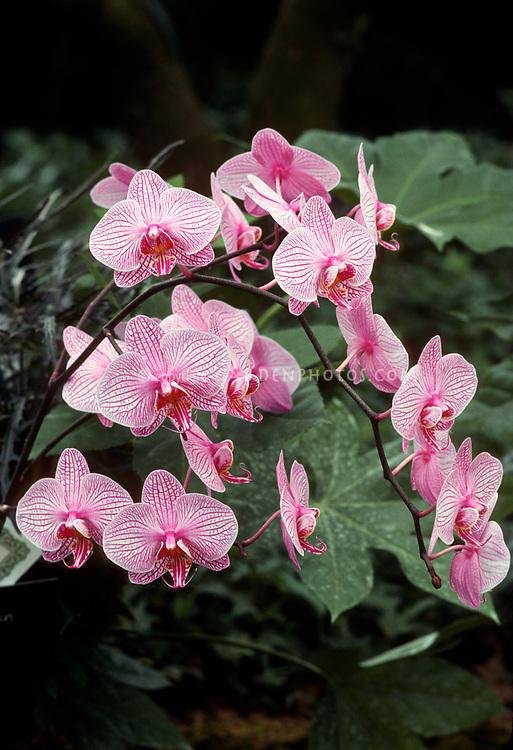 Phalaenopsis Little Kathleen 'Music', HCC/AOS orchid hybrid, arching spray of many flowers