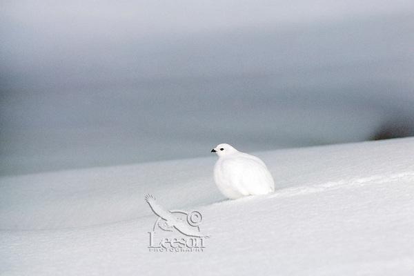 White-tailed Ptarmigan (Lagopus leucurus) in fresh snow. Northern Rockies.  Winter.