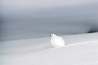 White-tailed Ptarmigan (Lagopus leucurus) in fresh snow. Northern Rockies.  Winter.