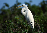 great egret in mangrove