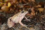 Gray's Stream Frog (Strongylopus grayi), South Africa
