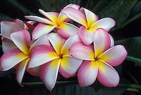 Candy stripe plumeria, or frangipani (apocynacae)