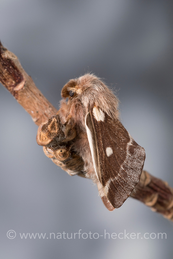 Wollafter, Frühlings-Wollafter, Birkennestspinner, Männchen, Eriogaster lanestris, Bombyx lanestris, Small Eggar, male, bombyx laineux, laineuse du cerisier
