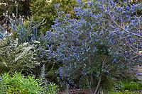 Ceanothus blue flowering California native shrub; Arlington Garden, Pasadena