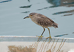 Black-crowned night heron, immature, Hong Kong, Lin yeu mau