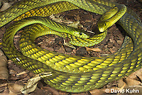 0423-1101  Mating Snakes, Pair of Western Green Mamba (West African Green Mamba) in Copulation, Dendroaspis viridis  © David Kuhn/Dwight Kuhn Photography