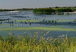 Wading birds feeding in marsh, San Luis National Wildlife Refuge Complex, California