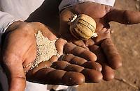 INDIA Rajasthan , legal controlled opium farming for Pharmaceutical industry for processing of Morphin drugs, dried poppy at farmers home / INDIEN Rajasthan , legaler kontrollierter Opium Anbau fuer die Pharmaindustrie zur Gewinnung von Morphin fuer Herstellung von Schmerzmittel, getrocknete Mohnkapseln bei einem Bauern